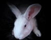 Oil Painting on aluminum of Ellie the white Rabbit by Rebecca Luncan