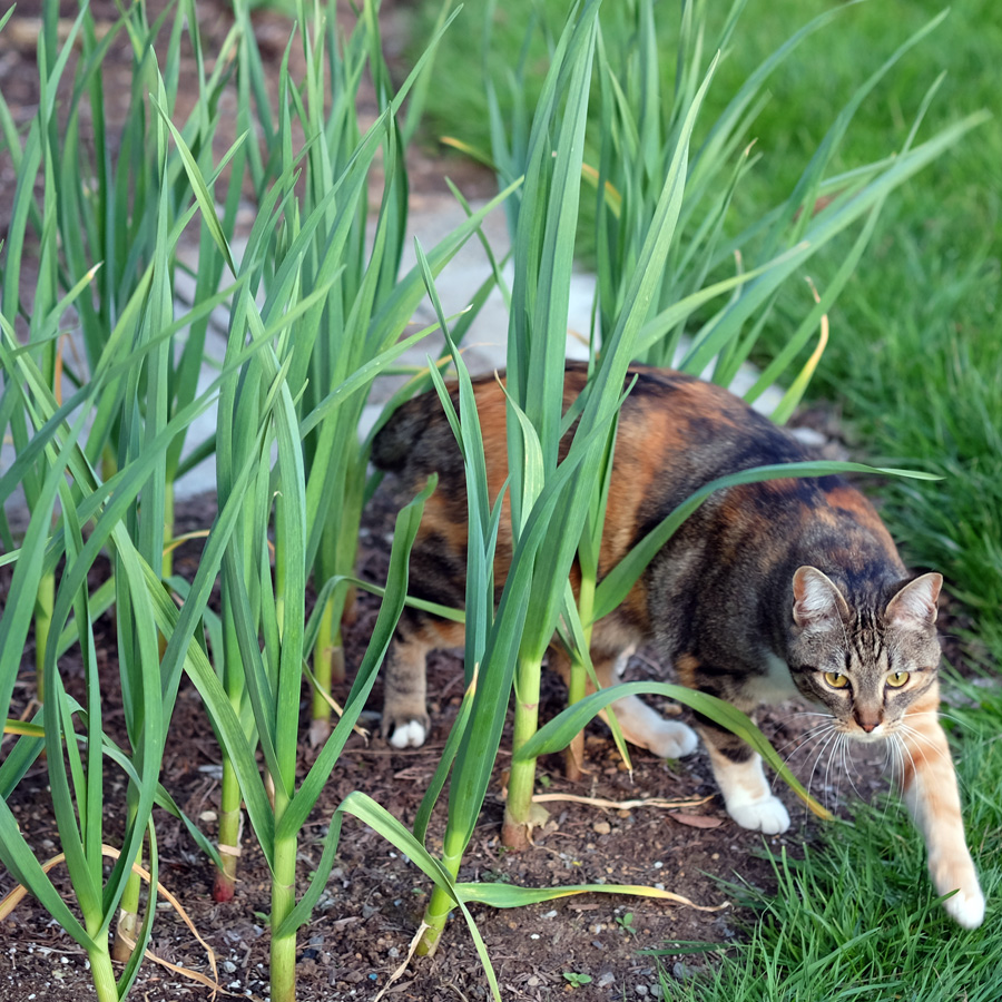 Fearsome Bală stalking in the garlic patch, Photo credit: Evan Grim