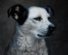 """pet portrait dog, oil on copper, 4"""" x 4"""""""