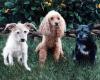 Three Dogs Pet Portrait oil Painting Rebecca Luncan
