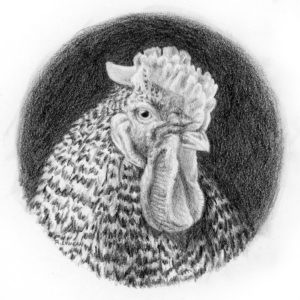 Graphite portrait drawing of a Plymouth rock rooster with a rose comb by Rebecca Luncan