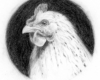 Graphite portrait drawing of a white chicken by Rebecca Luncan