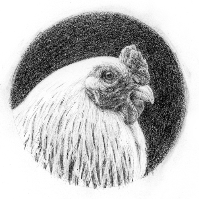 realistic Graphite portrait drawing of a white chicken by Rebecca Luncan
